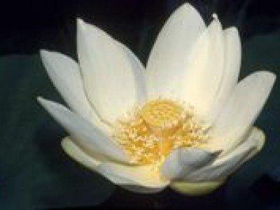 Цветок лотоса может стать символом Вьетнама