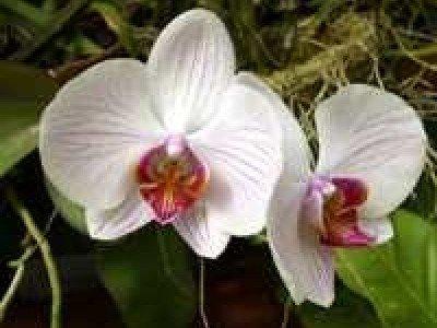 Призрачные орхидеи вновь расцвели