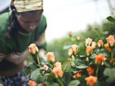 Изысканные цветы для россиян из Эфиопии